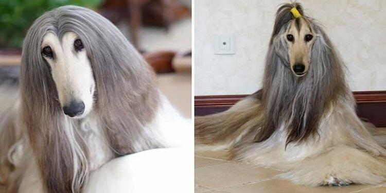 ''الكلب الأكثر أناقة في العالم''... ينفق أكثر من 15 ألف دولار على منتجات التجميل (صور)