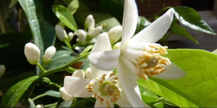 Les vertus de la fleur d'oranger