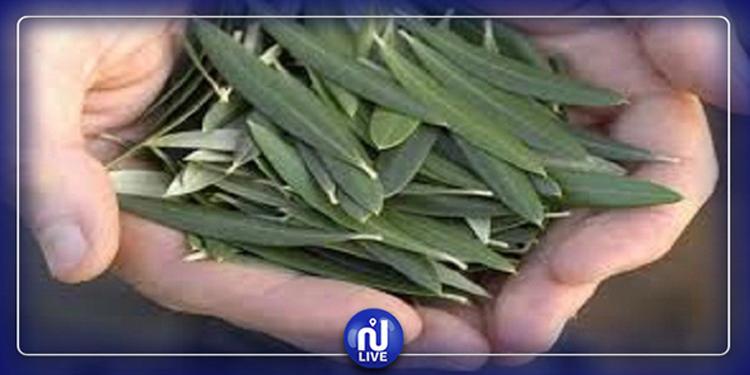 Les feuilles d'olivier le meilleur allié de notre immunité