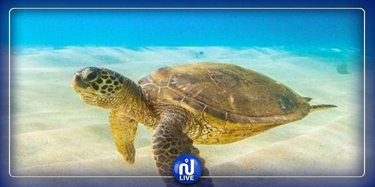Monastir : La municipalité fixe une amende pour protéger la tortue marine