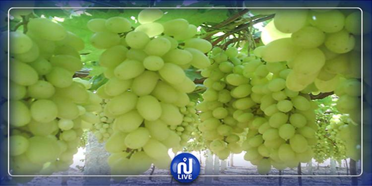 Sidi Bouzid : La récolte de raisins enregistre un taux d'avancement de 90%