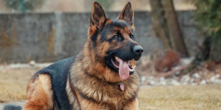 Colombie: Le chien Sombra est recherché… vif ou mort!!!