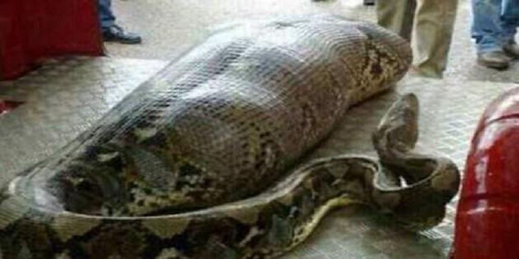 Le corps intact d'une femme retrouvé dans le ventre d'un python