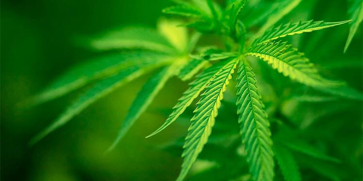 فيرمونت الأمريكية : نحو تقنين تعاطي الماريخوانا لأغراض ترفيهية