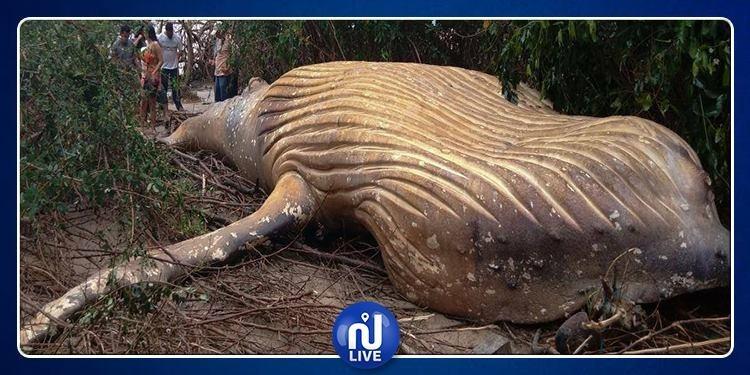 Une baleine à bosse retrouvée morte dans la forêt amazonienne