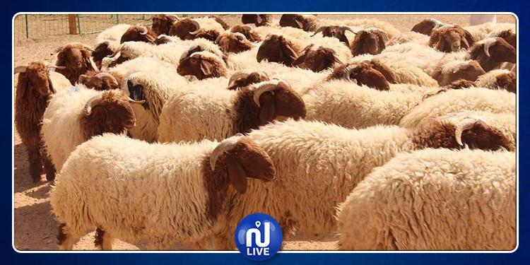 Aid El Idha: Les moutons du sacrifice disponibles sur le marché local