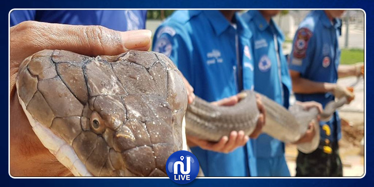 En vidéo : la capture d'un cobra de 4 mètres en Thaïlande