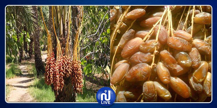 La Tunisie, 1er pays exportateur mondial de dattes...
