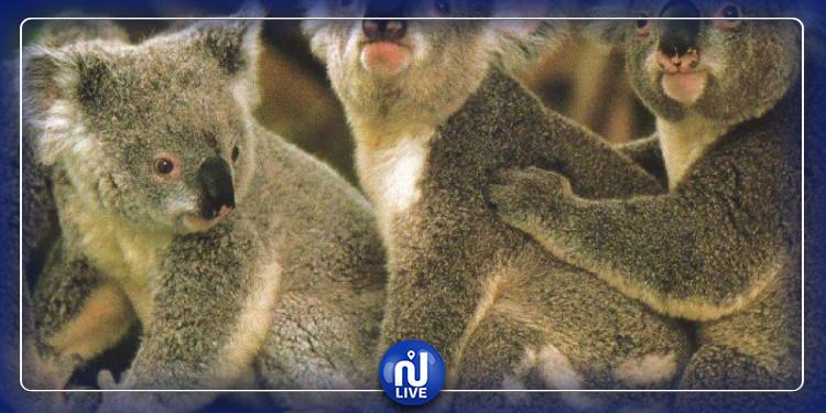Les koalas d'Australie sont en danger !
