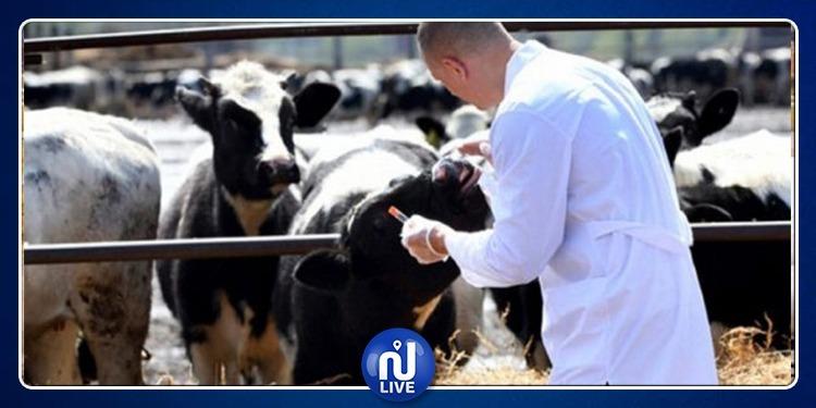 السرس: نفوق عدد من الأبقار بسبب الحمى القلاعية