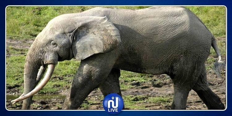 نفوق ''نعيمة'' آخر فيلةفي مصر