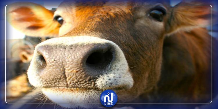 الأبقار أخطر على البيئة من السيارات