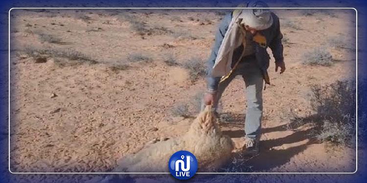 تطاوين: فلاحون يطلقون صيحة فزع بعد نفوق عدد من المواشي