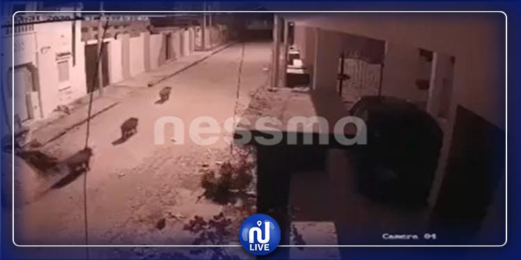 الخنازير تجتاح  شوارع مدنين (فيديو)