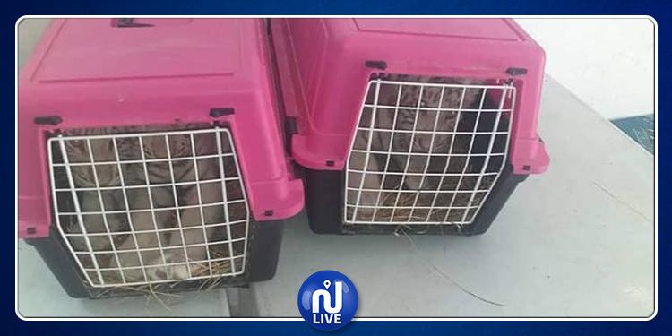 مدير منتزه ''فريقيا'' يعترف بموافقته على إرسال نمور نادرة جدّا إلى حديقة حيوانات بليبيا !
