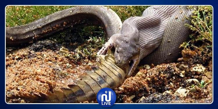 صور مذهلة لثعبان يبتلع تمساحا بأستراليا (صور)