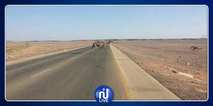 حزوة: قطيع من الإبل يتسبب في حادث مرور بمدخل المدينة