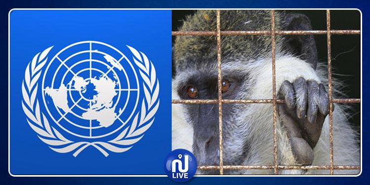 وساطة أممية...الأمم المتحدة تتمكن من إعادة قرد فرّ من لبنان إلى ''إسرائيل''! (صور)