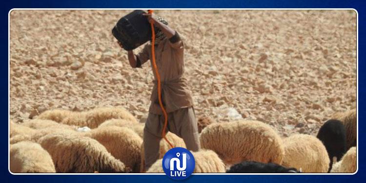 مئات الآلاف من رؤوس الماشية بتطاوين مههدة بالعطش