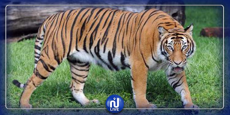 أول حيوان بري: إصابة نمر بفيروس كورونا!