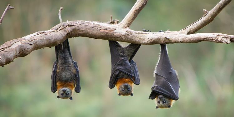 علماء من معهد ووهان للفيروسات: تعرضنا لعض الخفافيش