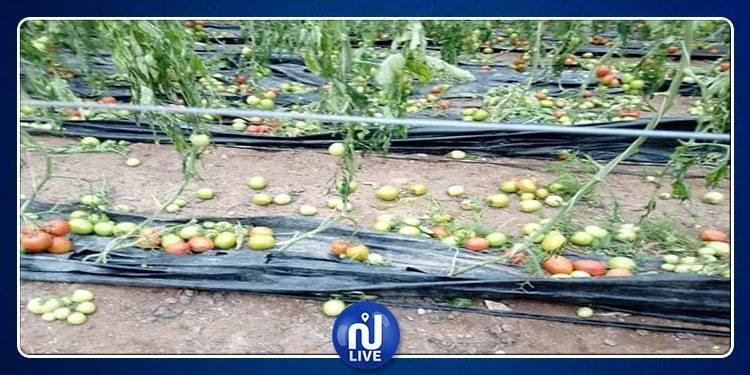 Jendouba-chutes de grêle: Les exploitations agricoles endommagées …