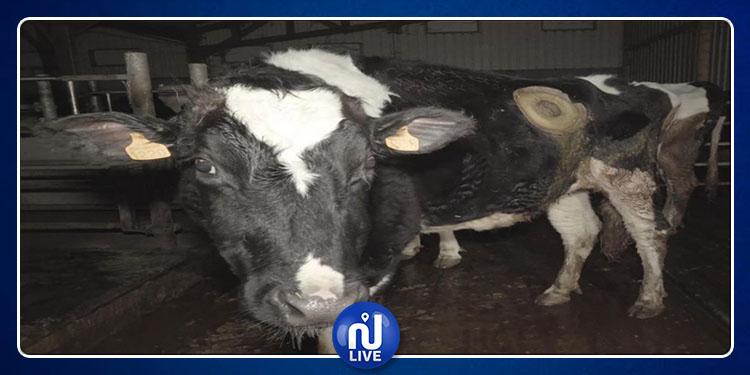 Des vaches à l'estomac perforé : nouvelle vidéo choc de L214