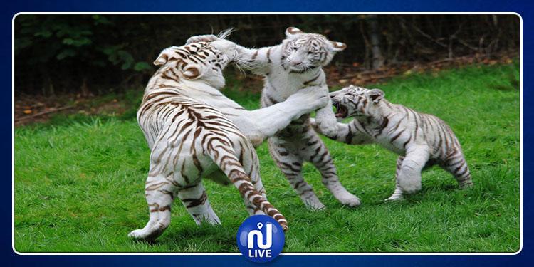 Une tentative de contrebande de 4 tigres blancs, mise en échec