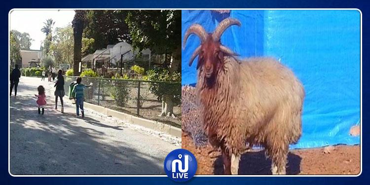 Belvédère : Vol de 8 moutons rares…une enquête a été ouverte…