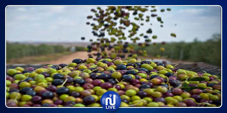 Démarrage de la cueillette des olives, à Gafsa