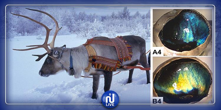 Pourquoi les yeux des rennes changent de couleur en hiver ?