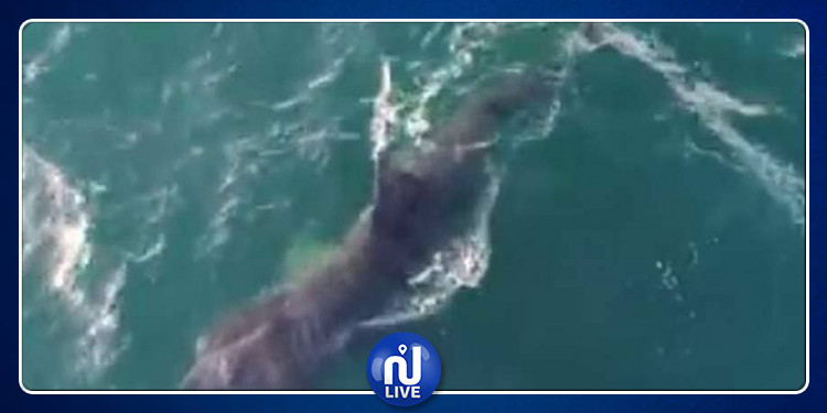 فيديو: بعد غيابه لـ 30 عاماً.. رصد 'القرش الفرح' قبالة سواحل كاليفورنيا