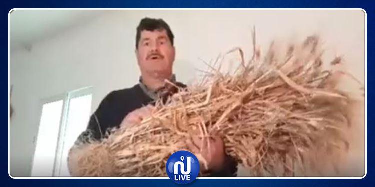 حبّة قمح تونسية تنتج 190 سنبلة! (فيديو)
