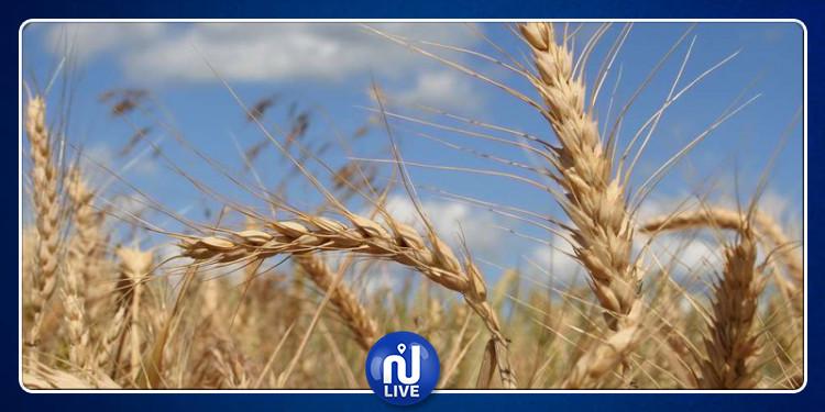 قفصة : 2375 طنّا تقديرات صابة القمح والشعير