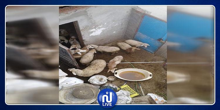 المحمدية: محاضر ومخالفات  لمربي الماشية في الأحياء السكنية (صور)