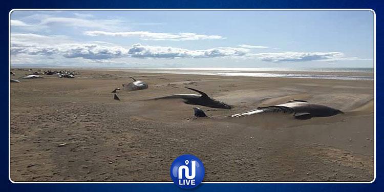 أيسلندا: حادثة غريبة لانتحار 50 حوتًا على الشاطئ (صور)