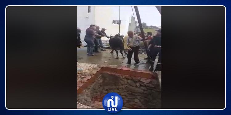 قليبية: الحماية المدنية تنقذ بقرة سقطت في بئر (فيديو)