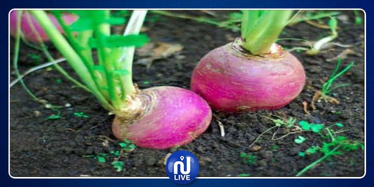 زراعة أكثر من 1250 هكتارا من اللفت السكري في جندوبة وباجة