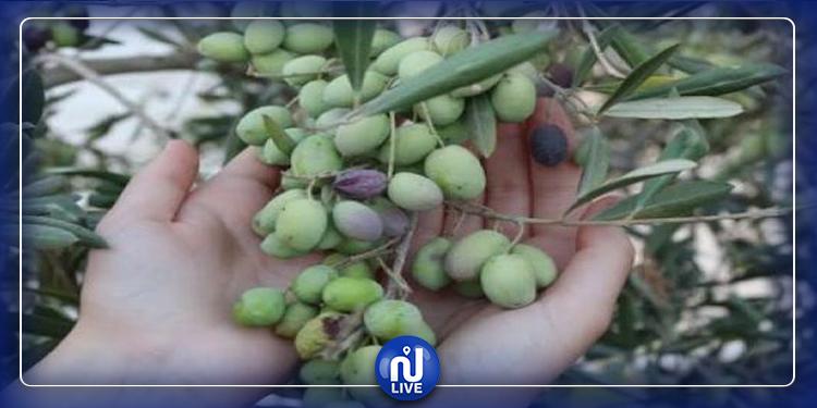 سوسة: سرقة محصول عدد من ضيعات الزيتون والاضرار بأشجارها