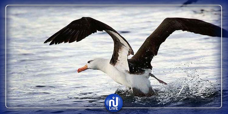 حمام سوسة: طيور القطرس النافقة خالية من مرض أنفلونزا الطيور