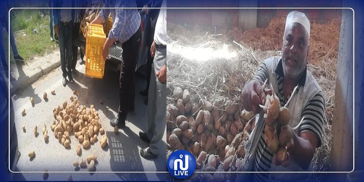 جندوبة :  مزارعو البطاطا يحتجون ويتلفون صابتهم  (صور)
