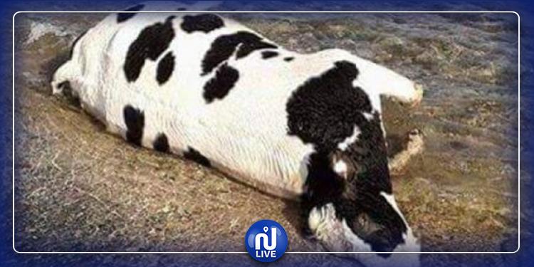 فساد في ملف التعويض عن الأبقار المريضة بالسل في المهدية: القضاء يتكفل بالموضوع