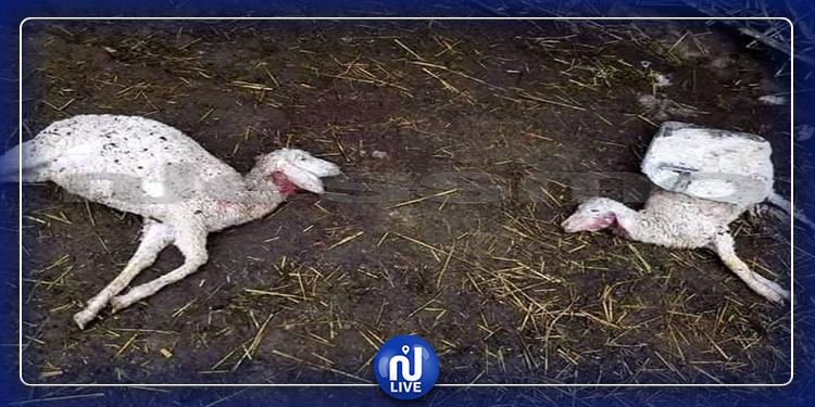 سيدي بوزيد: حيوان نادر يمزق بطون الأغنام ويقتات من كبدها (صور)