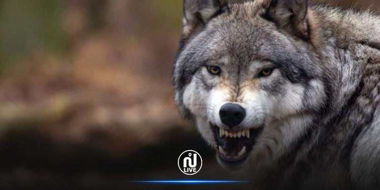دير الزور: ذئب يهاجم عائلة في منزلها ويخطف رضيعا