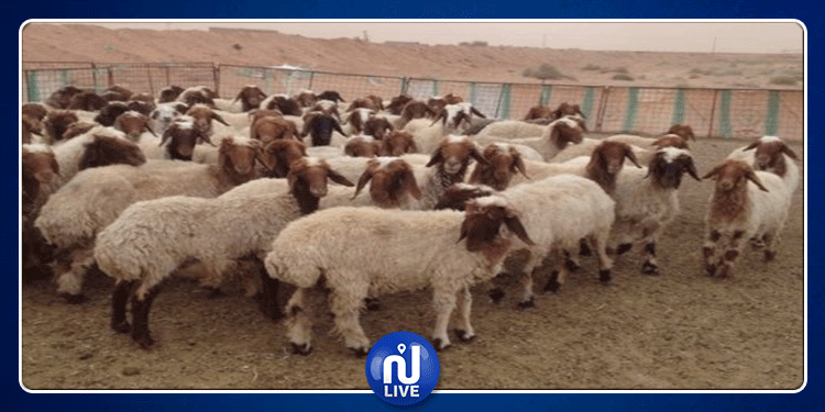 الكاف: دائرة الإنتاج الحيواني تنفي إصابة المواشي بأمراض أو أوبئة