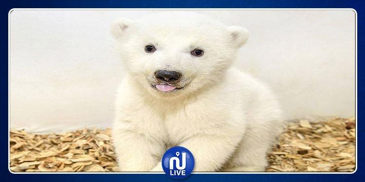 نتيجة فحص مولود الدب القطبي المهدد بالانقراض للمرة الأولى (صور)