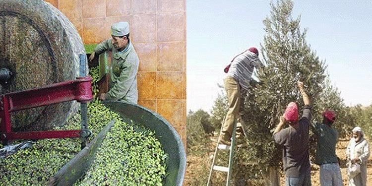 Une année record en production d'olives, attendue à Médenine