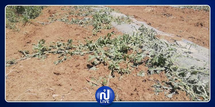 جندوبة :  أضرار فادحة بمزارع  الحبوب والطماطم واللفت السكري