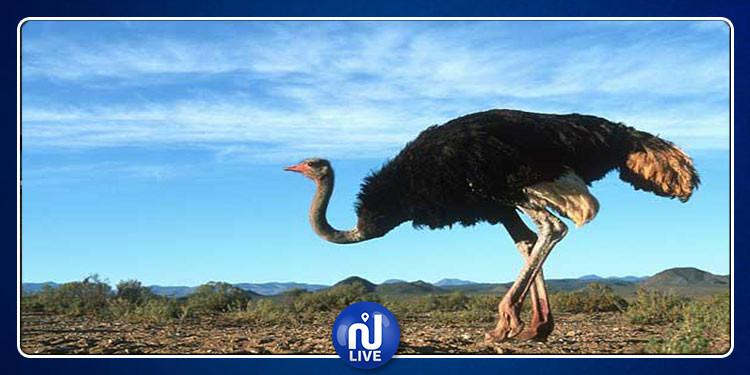 ''النعامة العملاقة '': إكتشاف مفاجئ  لأضخم طيور ما قبل التاريخ