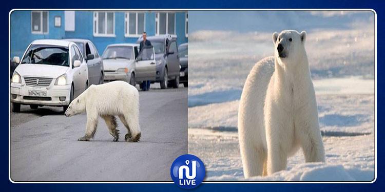 ضلت طريقها.. دبة قطبية تبلغ مدينة نوريلسك الروسية (صور)